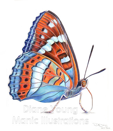 Painting of a butterfly the Poplar Admiral by Diane Young artist
